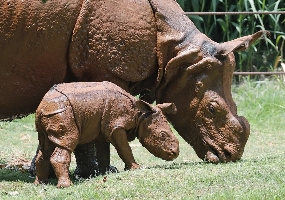 Photo -  A newborn Indian rhinoceros stands with his mother, Niki, as she grazes at the Oklahoma City Zoo. The as yet unnamed rhino was born at the zoo. The male calf is the fourth Indian rhino born since the zoo added the species in 1981. AP Photo   Sue Ogrocki -  AP