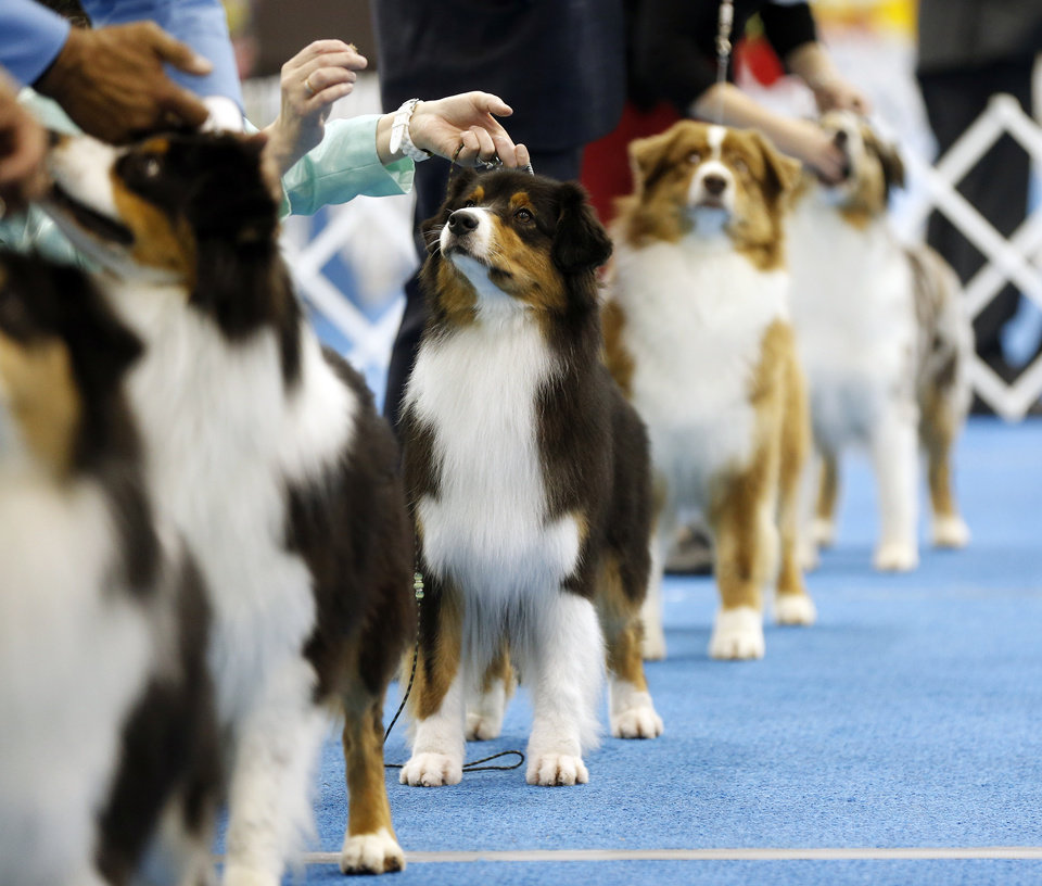 Photo -  Australian shepherds wait in the judging ring Wednesday during the OKC Summer Classic Dog Shows at the Cox Convention Center in downtown Oklahoma City. The dog shows continue through Sunday. Photo by Nate Billings, The Oklahoman   NATE BILLINGS -  NATE BILLINGS