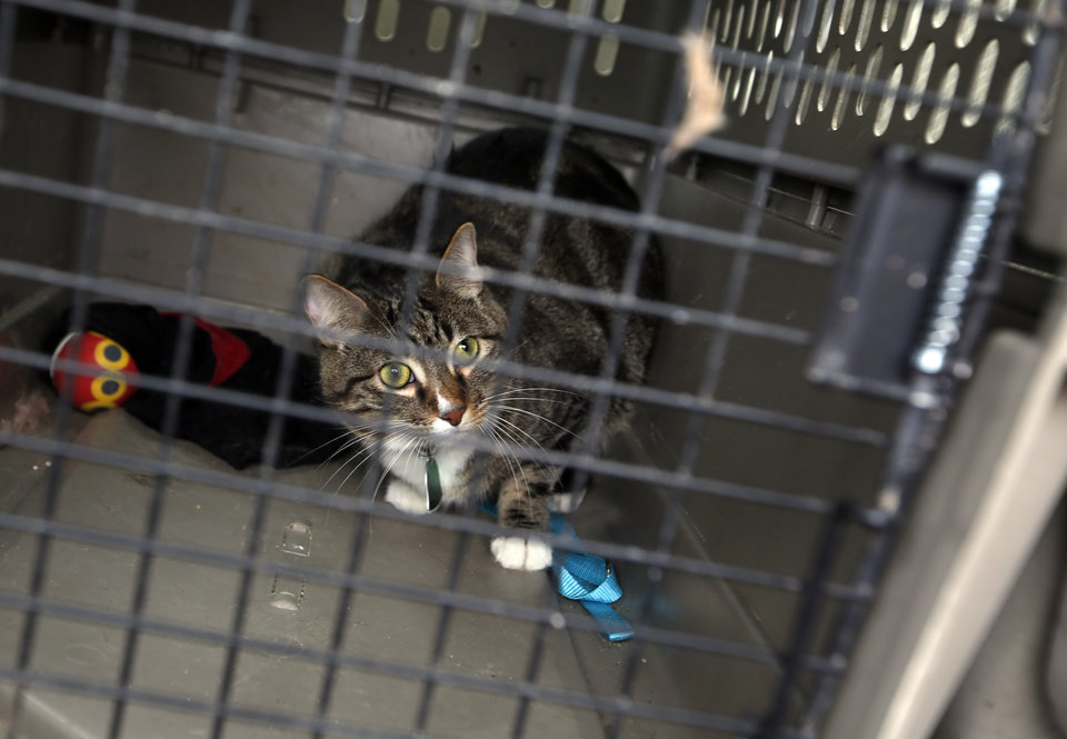 Kristy Parrish\'s cat Hudson Kit-ten sits in a crate afar being found in a destroyed home in Moore, Okla., Friday, May, 24, 2013. Photo by Sarah Phipps, The Oklahoman