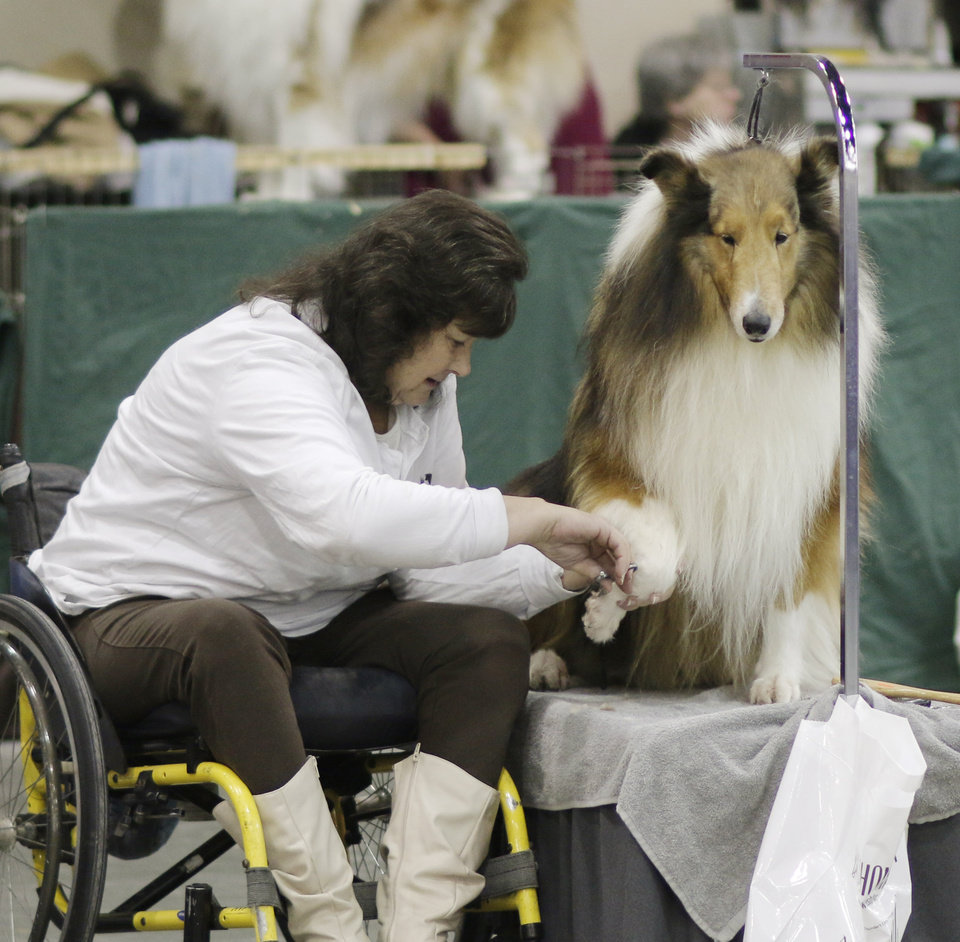 Photo - Holly Griffith, Burnett, Texas, trims Nugget, her 10 tear old rough sable at the Collie Club of America dog show at the Cox Convention Center in  Oklahoma City, walk their dogs in the Myriad Botanical Gardens, Wednesday, March 11, 2015. Photo by Doug Hoke, The Oklahoman