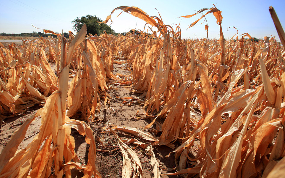 Cornfield at the southeast corner of Britton Road and Midwest Boulevard in Oklahoma City Tuesday, Aug. 2, 2011. The stalks have dried out and died before being harvested from a lack of rain during a drought in central Oklahoma. Photo by Paul B. Southerland, The Oklahoman