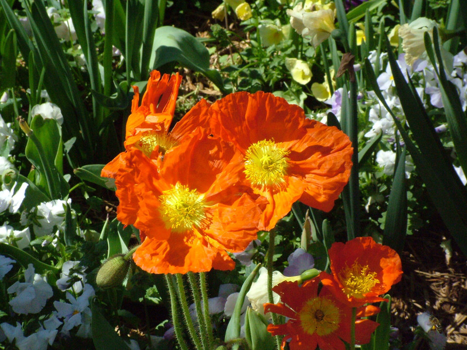 """Dallas Blooms"" at the Dallas Arboretum was ablaze Monday, March 20, with more than 400,000 tulips and other spring blooms including these orange poppies.<br/><b>Community Photo By:</b> Lin Archer<br/><b>Submitted By:</b> Lin,"