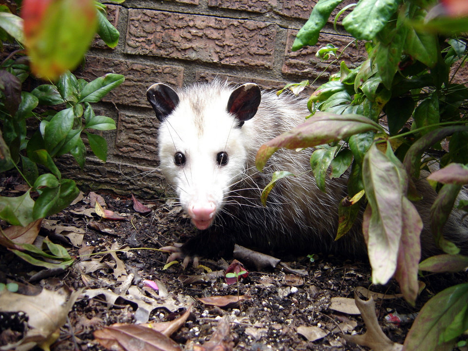 We are not playing possum today.<br/><b>Community Photo By:</b> Eldon Harris<br/><b>Submitted By:</b> Eldon, Bethany