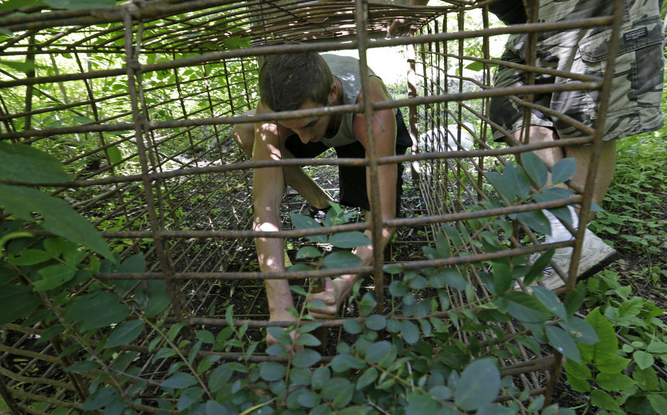 Photo - Michael Darwin helps set a trap to catch feral hogs with John Schmidt, a wildlife trapper, right, in New Orleans, Tuesday, June 17, 2014. An estimated 5 million swine, descendants of both escaped domestic pigs and wild Eurasian boars imported by hunters, do about $800 million in damage a year to farms nationwide. Damage outside farms and population control bring the annual total to $1.5 billion. A preservative used to cure bacon is being tested as poison for feral hogs.  Scientists with U.S. Department of Agriculture say sodium nitrite may be the best chance for controlling the big, prolific animals, which cost the U.S. about $1.5 billion a year_ including $800 million in farm damage.  (AP Photo/Gerald Herbert)