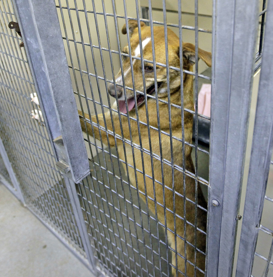 Photo - Lucy (A106171), a female Labrador retriever, waits to be adopted at the Oklahoma City Animal Shelter this month.  PHOTO BY Nate Billings, The Oklahoman