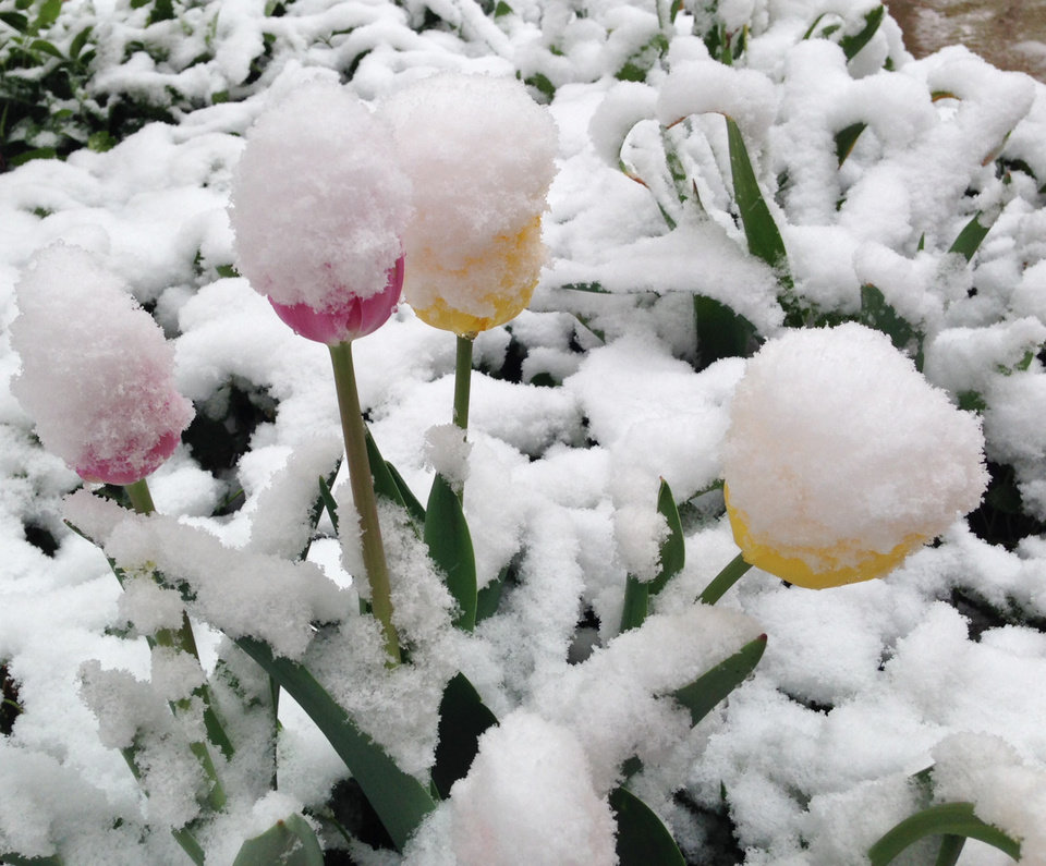 Photo - Snow covers spring flowers in Denver on Monday, May 12, 2014. A spring storm that has brought over a foot of snow to parts of Colorado, Wyoming and Nebraska and thunderstorms and tornadoes to the Midwest was slowing down travelers and left some without power Monday morning. (AP Photo/Ed Andrieski)