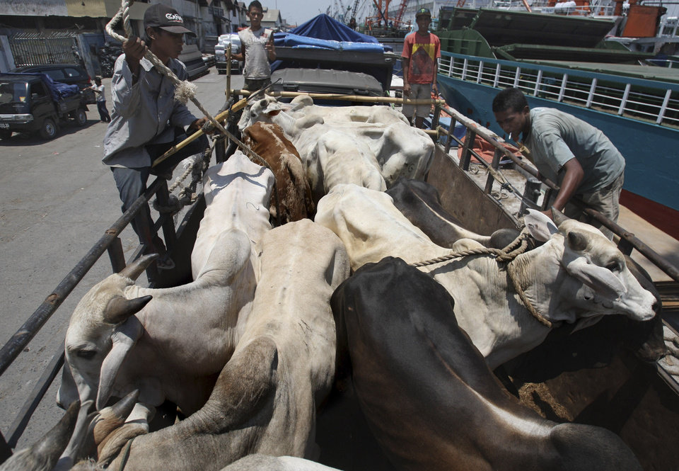 Photo - In this Saturday, Feb. 9, 2013 photo, workers load cows from West Timor to be distributed across the main island of Java, upon arrival at Kali Mas port in Surabaya, East Java, Indonesia. The price of beef, the main ingredient in bakso, has hit a record high while other essential ingredients — garlic, shallots and chillies — have also recently skyrocketed. (AP Photo/Trisnadi)