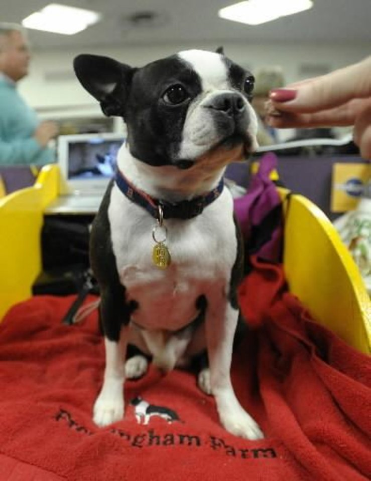 Walter, a Boston Terrier, gets offered a  treat backstage during the 133rd annual Westminster Kennel Club  Dog Show in New York, on Monday, Feb. 9, 2009. (AP Photo/Peter Kramer)