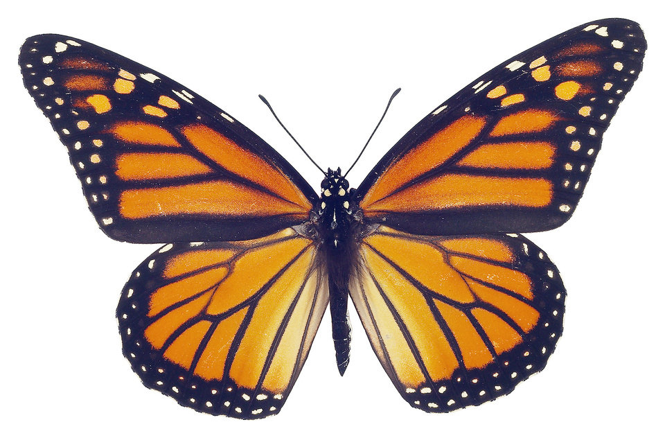Photo - Monarch. Oklahoman archives