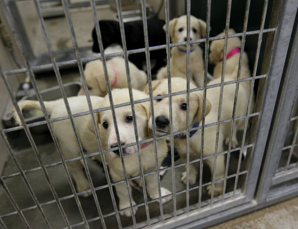 Photo - A group of Great Pyrenees and Lab mix puppies wait to see if they will be claimed by their owner before they can become adoption candidates at the Oklahoma City Animal Shelter this month.