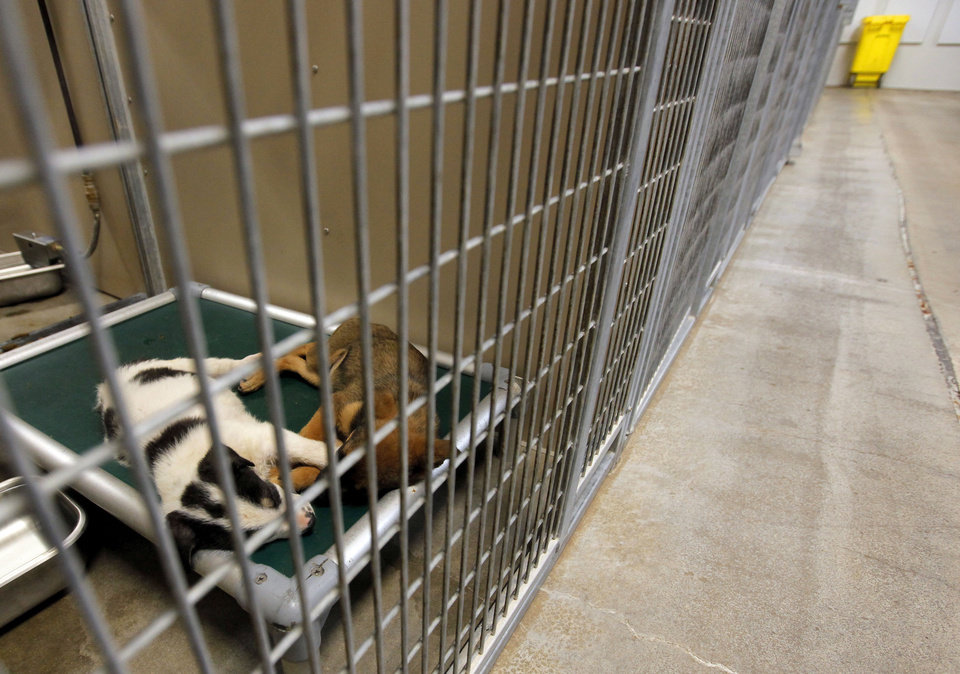 Photo - Two unnamed female puppies (A107256 and A107250) wait to see if they will be claimed by their owner before they can become adoption candidates at the Oklahoma City Animal Shelter this month. PHOTOS BY Nate Billings, The Oklahoman