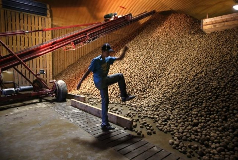 Photo -  Adam Paterson kicks a potato back onto an enormous pile at a storage facility in Mapleton, Maine. Each year the state harvests around 1.5 billion pounds of potatoes. [AP PHOTO]
