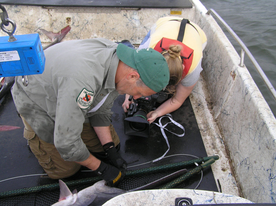 Brent Gordon, paddlefish research supervisor with the Oklahoma Wildlife Conservation Department, nets and tags a paddlefish. The Paddlefish Research Center sold more than 15,000 pounds of caviar in 2012, earning the agency $1.5 million dollars. - PROVIDED