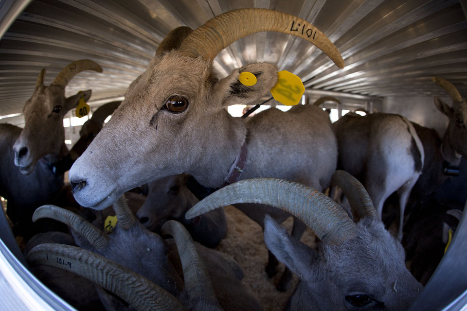 In this Oct. 31, 2012 photo, twenty-five captured big horn sheep await transport to Utah in a trailer near Henderson, Nev. In an attempt to help repopulate areas of southern Utah, fifty sheep from the River and Muddy mountains in southern Nevada are being captured for relocation to Grand Staircase National Monument. (AP Photo/Julie Jacobson)