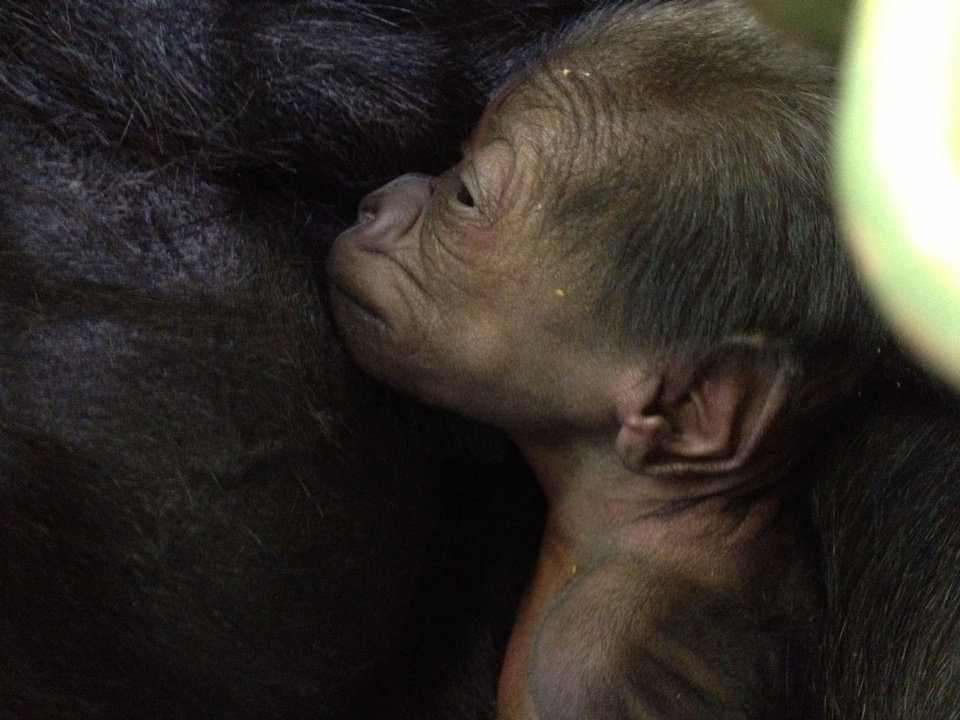 Kelele holds her baby at the Oklahoma City Zoo on Friday afternoon. The baby was born early Valentine's Day morning. The sex of the baby isn't known yet. PHOTO PROVIDED BY OKLAHOMA CITY ZOO <strong>PROVIDED - PROVIDED</strong>