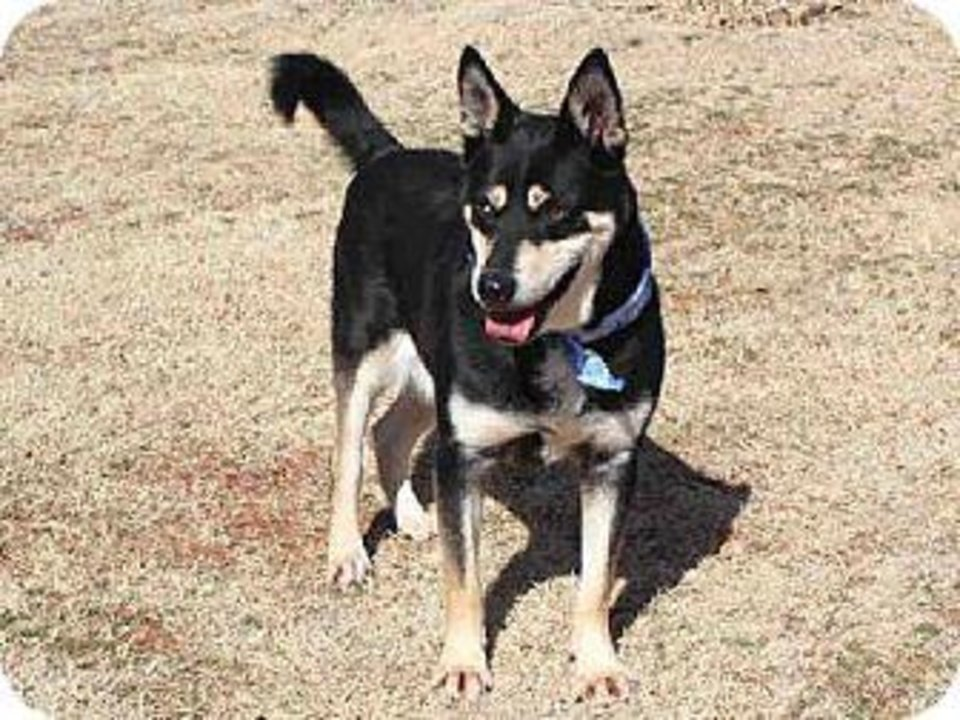 Gus is a mellow Siberian husky/shepherd mix who loves attention. He enjoys human interaction and would make an excellent pet for someone who is familiar with the breed. Gus would love a large yard. Gus is 6 years old, weighs about 60 pounds and is available at the Edmond Animal Welfare Shelter.
