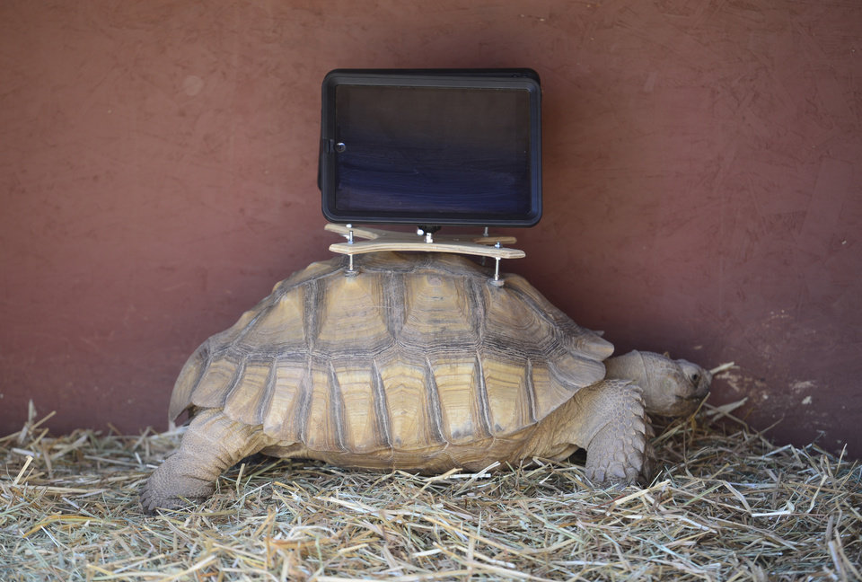 Photo - This Aug. 2, 2014 photo shows a tortoise with an iPad mounted on its back. A group of protesters are objecting to Aspen Art Museum officials who plan to place iPads on tortoises during an art exhibition this weekend. The stunt is planned as a part of the 24-hour public opening of the new art museum on Saturday. The debut show on the rooftop sculpture garden, put together by artist Cai Guo-Qiang, features tortoises wandering around the space with iPads attached to their shells with specially designed mounts. The iPads will be showing footage of abandoned ghost-town cabins from around the valley, images that were previously recorded with the devices while they were attached to the tortoises' shells. (AP Photo/The Denver Post, Kathryn Scott Osler)