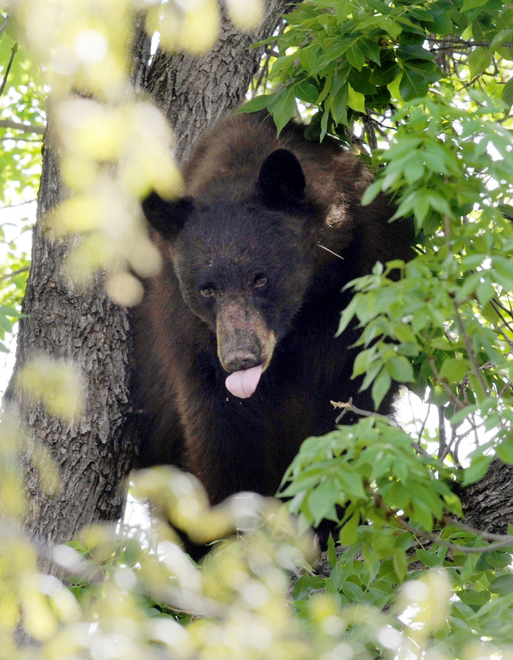 Photo -   An adult male black bear hides up a tree in Williams Village on the University of Colorado campus in Boulder on Thursday. April 26, 2012. (AP Photo/The Daily Camera, Cliff Grassmick) NO SALES