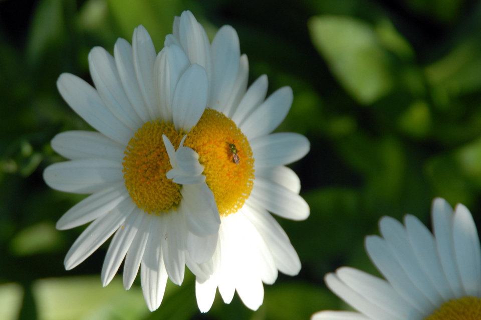Check out this double-headed daisy from my backyard.  It's two blooms joined together on one stem.<br/><b>Community Photo By:</b> Gina Jordan<br/><b>Submitted By:</b> Gina Jordan, Oklahoma City