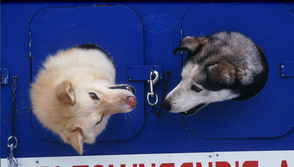 FILE - Two of Iditarod Trail Sled Dog Race rookie Lori Townsand's dogs play as they wait their turn for the pre-race checkup,  Feb. 28, 1996, at the Iditarod headquarters in Wasilla, Alaska.  (AP Photo/Al Grillo, File)