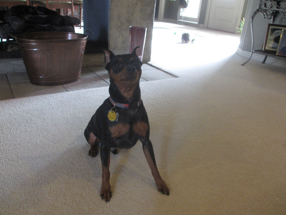 Photo - Maddox, a 7-year-old miniature pinscher, went missing Christmas Eve. Photo provided