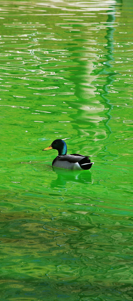 Photo -      Right: A duck swims in green water Monday after a prankster treated the water system at the Myriad Botanical Gardens with green dye in Oklahoma City. Photos by Paul B. Southerland, The Oklahoman   PAUL B. SOUTHERLAND -
