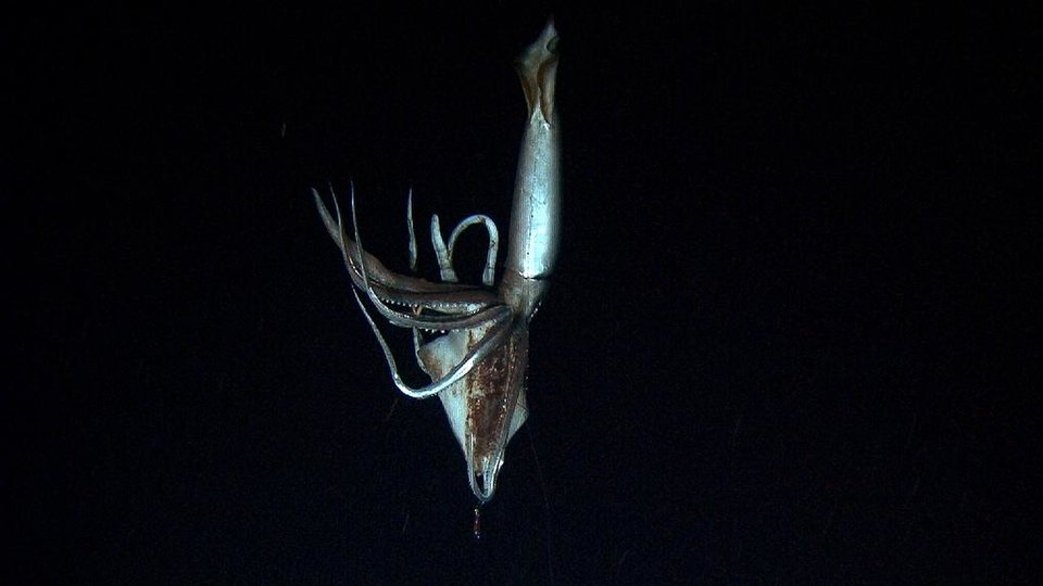 Photo - In this image made from video recorded in the summer of 2012, provided by NHK and Discovery Channel, a giant squid takes bait in the deep sea off Chichi island, Japan. (AP Photo/ NHK/NEP/Discovery Channel ) EDITORIAL USE ONLY, MANDATORY CREDIT