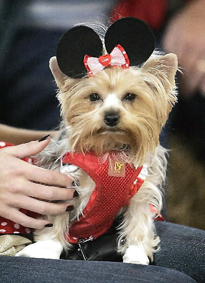Photo - Left: Macy, a 2-year-old Yorkshire terrier owned by Jayce Jamar of Ada, sports a Minnie Mouse costume at the 2008 Dog Day Afternoon costume contest. OKLAHOMAN ARCHIVE PHOTO BY JACONNA AGUIRRE
