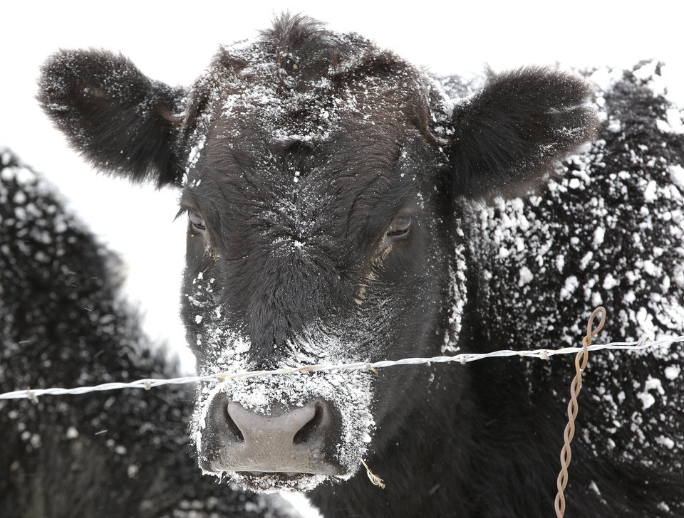 Photo - A cow's black fur is dusted with snow on a ranch in Superior, Colo., Wednesday Dec. 19, 2012. A storm that has dumped more than a foot of snow in the Rocky Mountains is heading east and is forecast to bring the first major winter storm of the season to the central plains and Midwest. (AP Photo/Brennan Linsley)