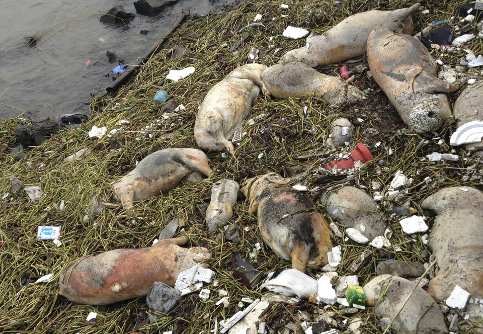 In this photo taken Thursday March 7, 2013 and made available Sunday, March 10, 2013, dead pigs are strewn along the riverbanks of Songjiang district in Shanghai, China. Chinese officials say they have fished out 900 dead pigs from a Shanghai river that is a water source for city residents. Officials are investigating where the pigs came from. A statement posted Saturday on the city's Agriculture Committee's website says they haven't found any evidence that the pigs were dumped into the river or of any animal epidemic. (AP Photo) CHINA OUT