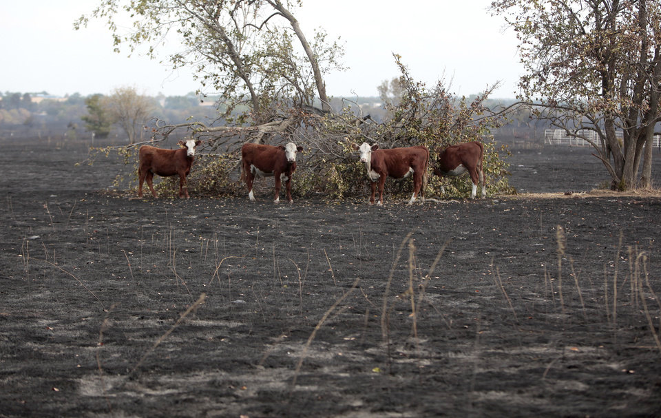 Cows gather around a tree in a burned field, Sunday, Aug. 5, 2012, in Glencoe, Okla., after wildfires moved through the area Saturday.