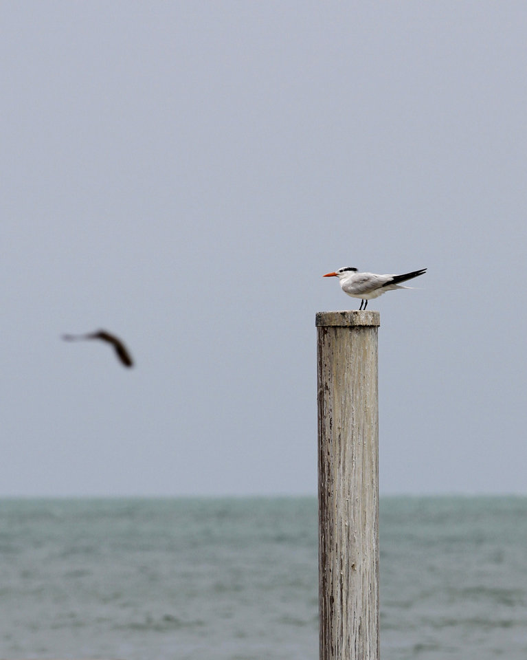 Photo -   A seagull perches on a post in Key West, Fla., Saturday, Aug. 25, 2012, Saturday, Aug. 25, 2012. Tropical Storm Isaac's winds are expected to be felt in the Florida Keys by sunrise Sunday morning. (AP Photo/Alan Diaz)