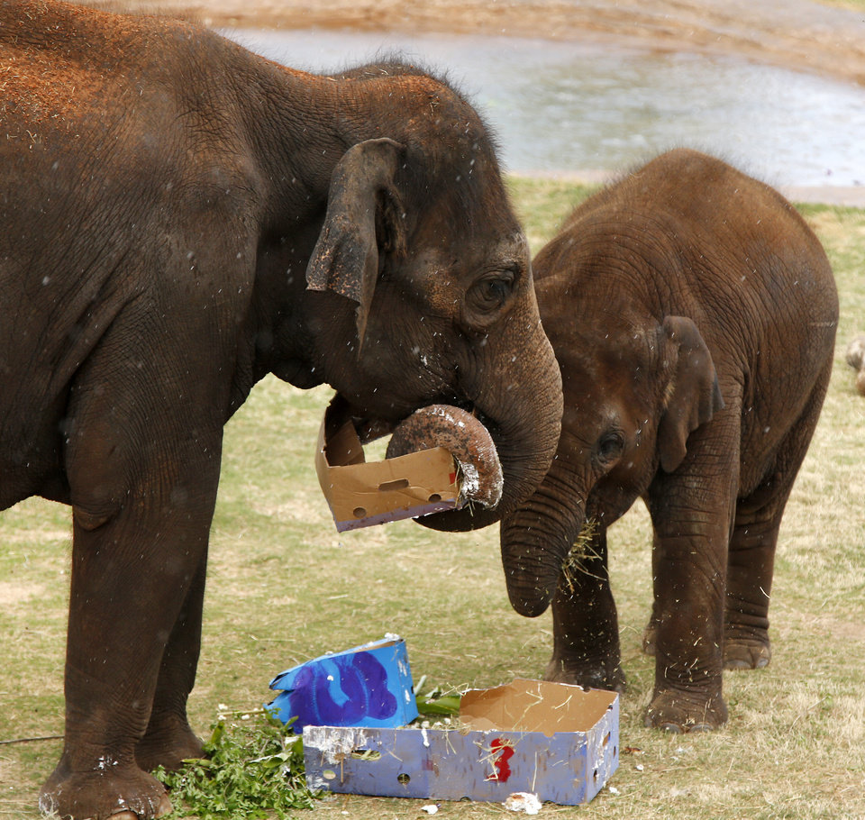 Photo -  Elephants Malee, right, and her mother, Asha, eat some of Malee's edible presents during a birthday party for Malee at the Oklahoma City Zoo. Photo by Nate Billings, The Oklahoman   NATE BILLINGS -