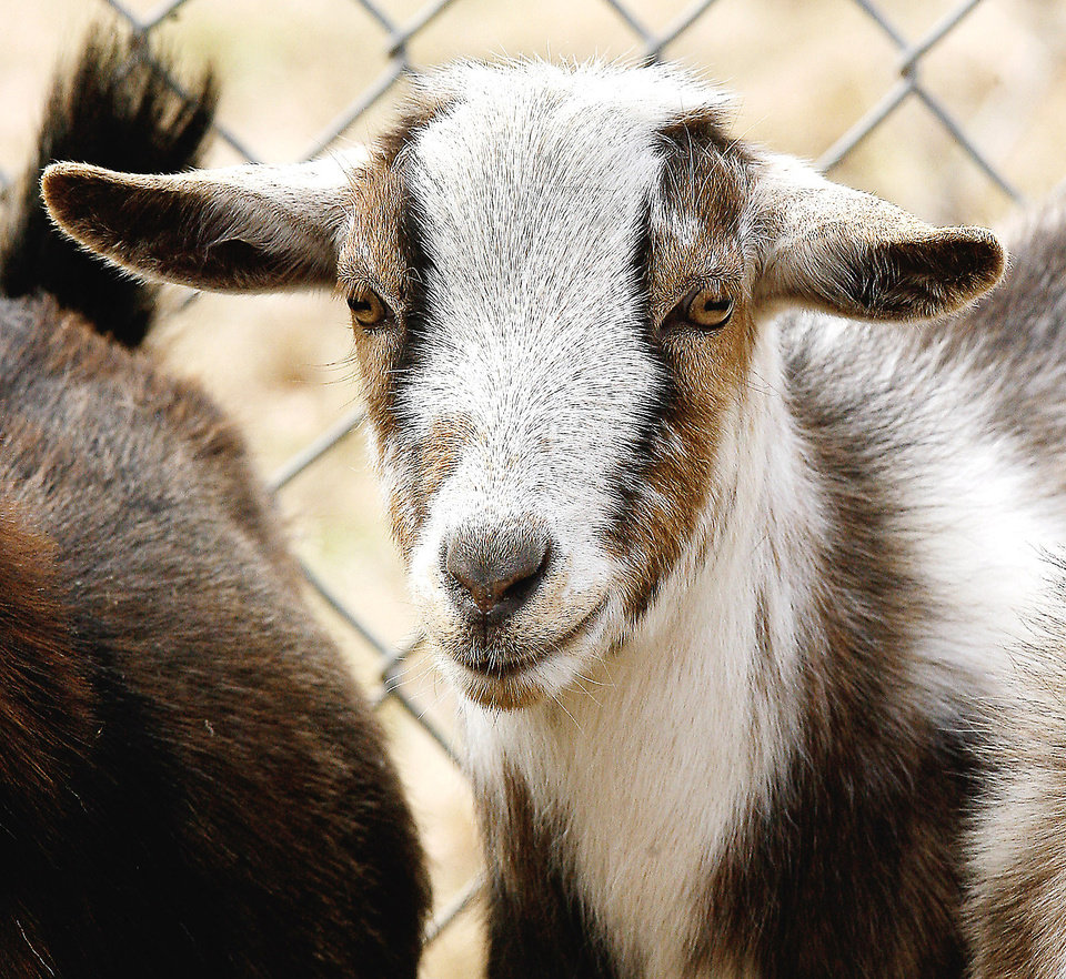 This is Chandler. All 12 goats are named after Oklahoma towns and cities.