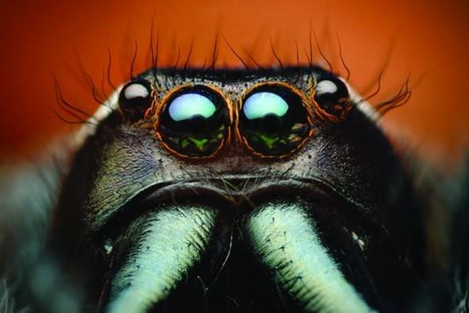"""The macrophotograph """"Paraphidippus aurantius,"""" depicting a highly magnified male jumping spider, is featured in the new """"Beautiful Beasts: The Unseen Life of Oklahoma Spiders and Insects"""" exhibit at the Sam Noble Oklahoma Museum of Natural History."""