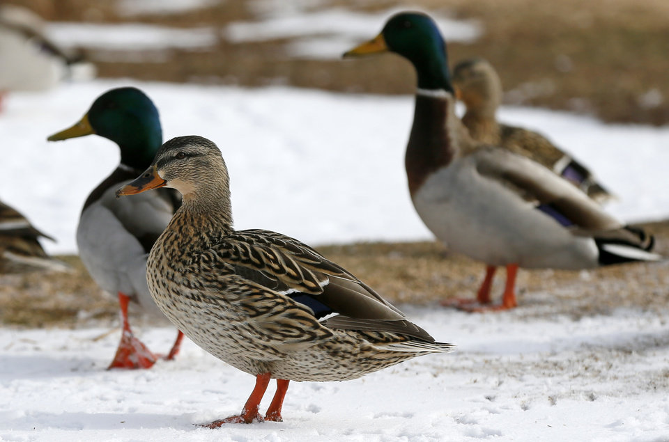 Photo - Ducks stand in snow at Lake Hefner after a winter storm in Oklahoma City, Sunday, Feb. 2, 2014. Photo by Nate Billings, The Oklahoman