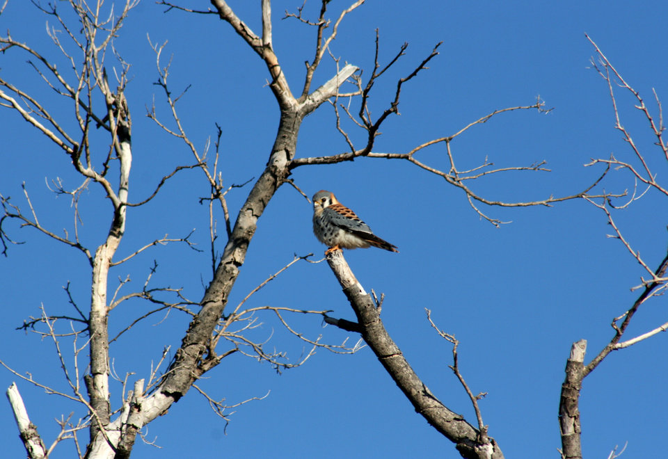Photo -  A Kestrel falcon is one of the species of wildlife that visitors to the Washita National Wildlife Refuge might see on Saturday during a wildlife viewing tour.