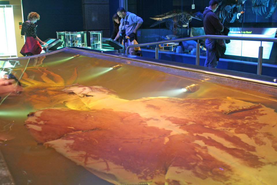 Photo -  The 1000-pound, 14-foot colossal squid at the Te Papa museum is the largest specimen ever captured.  Photo by Elaine Warner, for The Oklahoman.
