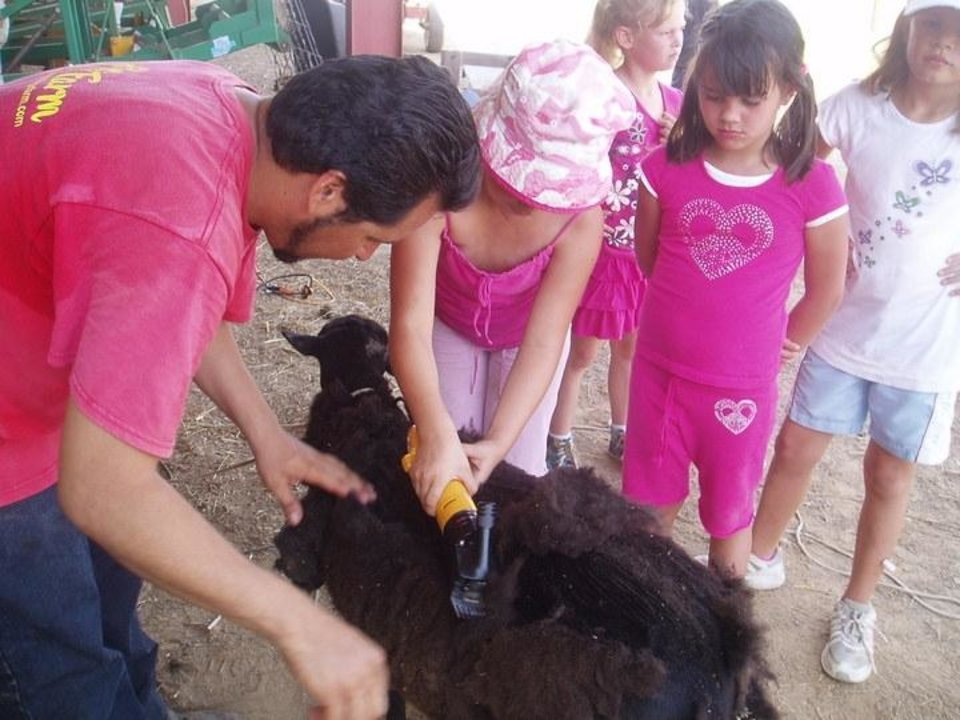 Photo - Alexa Vera helps sheer a sheep at Wild Things Farm. (Photo by Happy Frazier)