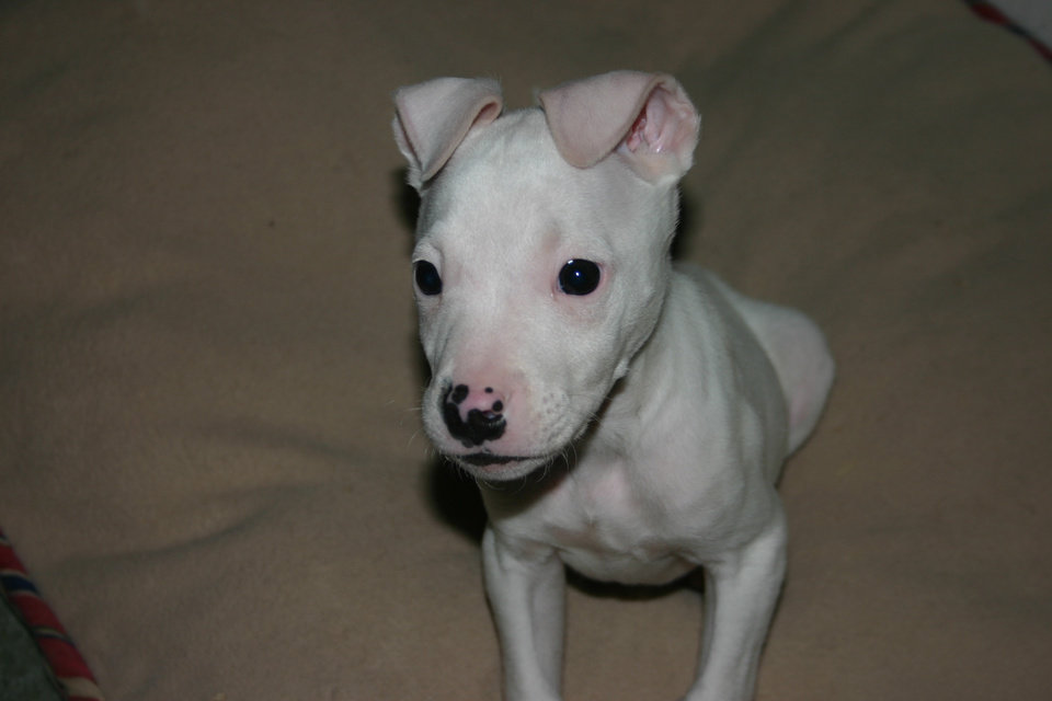 This little American Bull Terrier is completely deaf. He was dumped to be put down just 2 weeks before Christmas 2006. He is soooo smart! Already plays fetch and responds to some hand signals. Community Photo By: Tracy Cole Submitted By: tracy, Warr Acres