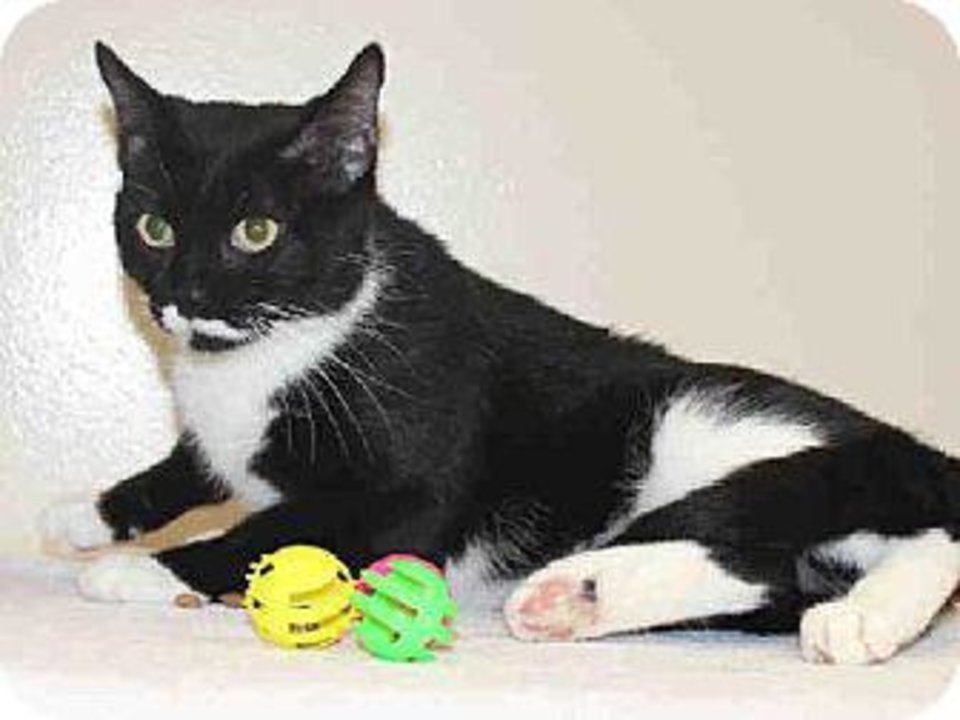 Photo - Opal is a sweet cat who is a little timid at first, but once she warms up to you, she becomes your best friend. Opal is 3 years old and weighs about 9 pounds. She is at the Edmond Animal  Welfare Shelter.
