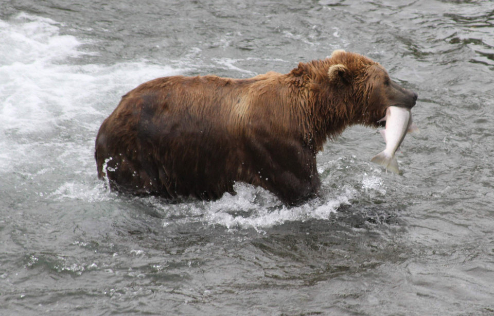 Photo - FILE - A brown bear walks to a sandbar to eat a salmon it had just caught at Brooks Falls in Katmai National Park and Preserve, Alaska on July 4, 2013. (AP File Photo/Mark Thiessen)
