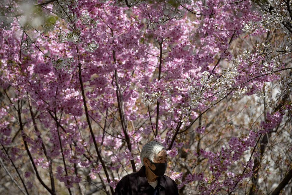Photo -  A man wears a face mask to protect against the spread of coronavirus as he walks among blossoms at Yuyuantan Park in Beijing, Friday, April 3, 2020. Beijing has reopened most public parks as the pace of new infections has slowed in China's capital though many are limiting the number of visitors per day or requiring advance purchase of admission tickets. (AP Photo/Mark Schiefelbein)