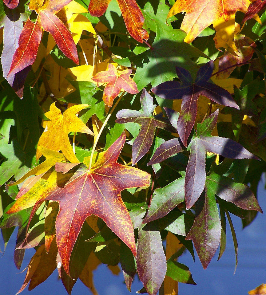 Fall leaves on sweetgum tree<br/><b>Community Photo By:</b> Cindi Tennison<br/><b>Submitted By:</b> Cindi , Bethany