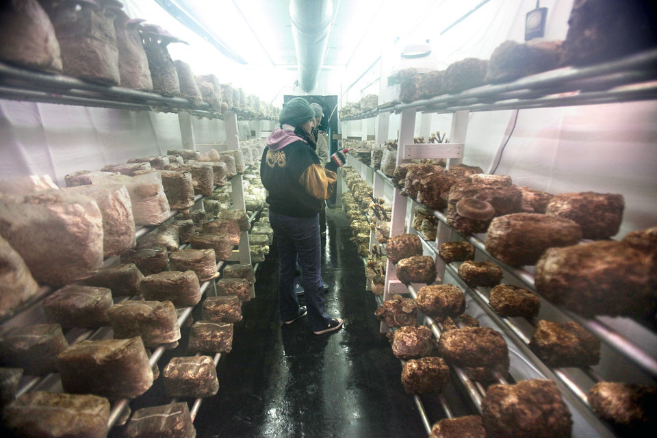 At maximum capacity, Heather Popowsky of Oklahoma Mushroom expects this mushroom farm to produce 200 pounds of gourmet mushrooms a week. <strong>PAUL HELLSTERN - The Oklahoman</strong>
