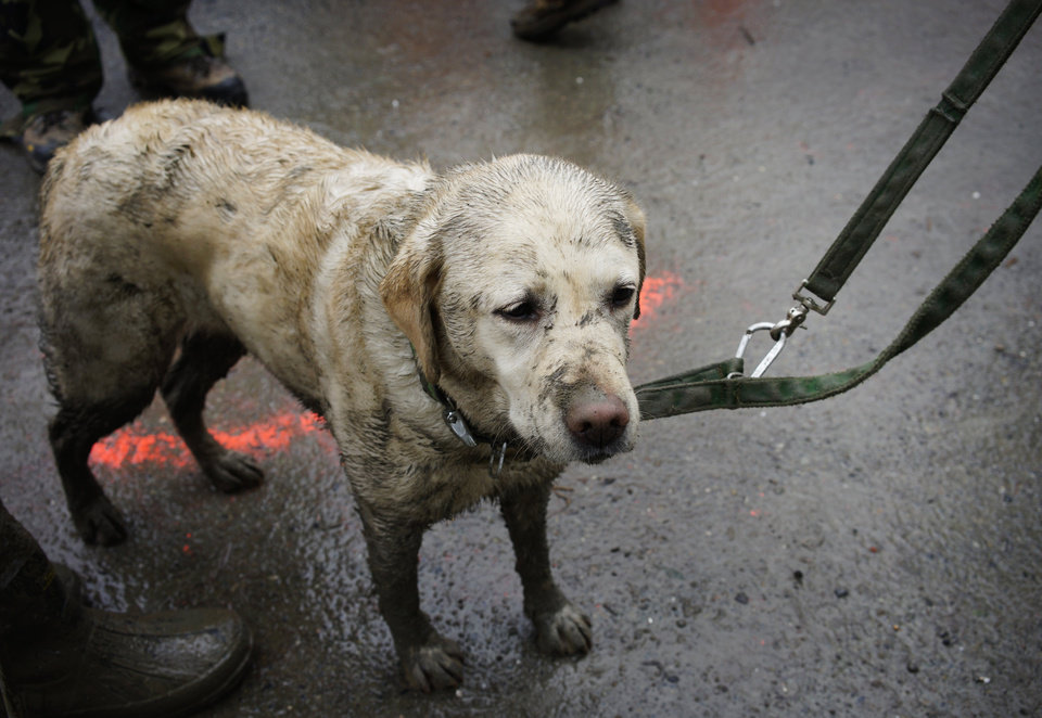 Photo - Rescue dog Tryon, muddied from the day's work, stands with his handler near the west side of the mudslide on Highway 530 near mile marker 37  in Arlington, Wash., on Sunday, March 30, 2014. Periods of rain and wind have hampered efforts the past two days, with some rain showers continuing today. Last night, the confirmed fatalities list was updated to 18, with the number of those missing falling from 90 to 30. (AP Photo/Rick Wilking, Pool)