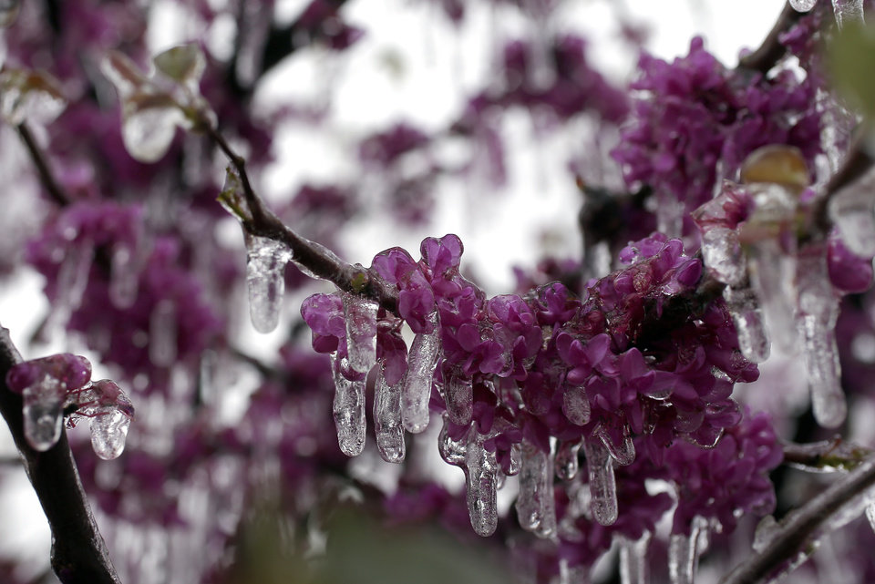 Photo - A redbud tree is encased in ice in northwest Oklahoma City, Wednesday, April 10, 2013. Photo by Sarah Phipps, The Oklahoman