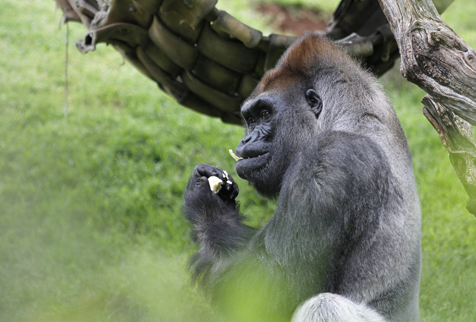 Photo - Bom Bom, a gorilla, enjoys a hard-boiled egg during Hopabaloo at the Oklahoma City Zoo, Sunday, April 8, 2012.  Photo by Garett Fisbeck, For The Oklahoman