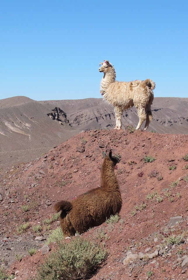 Photo -   This August 2012 photo shows llamas grazing off the highway in Chile's Atacama Desert. The destination is a popular add-on for tourists visiting Easter Island, Peru and Patagonia. (AP Photo/Karen Schwartz)