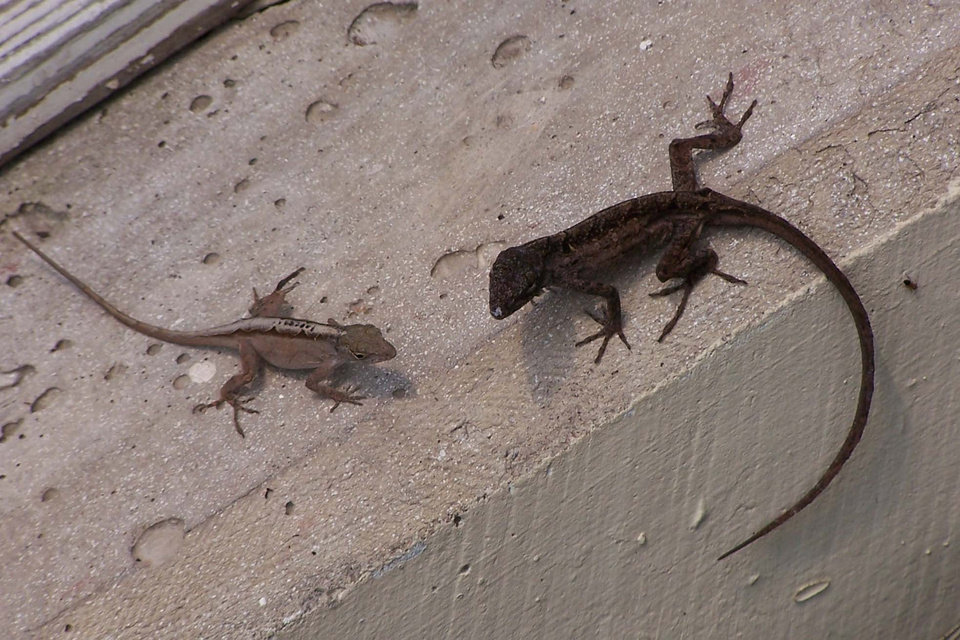 Lizards at Crystal Bridge<br/><b>Community Photo By:</b> Cindi Tennison<br/><b>Submitted By:</b> Cindi , Bethany